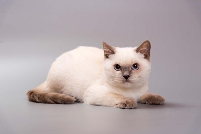 Милый кот британский